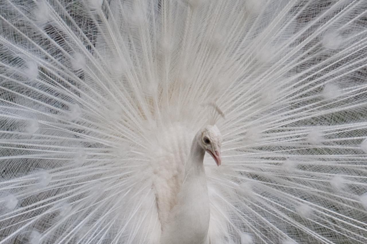 paon albinos